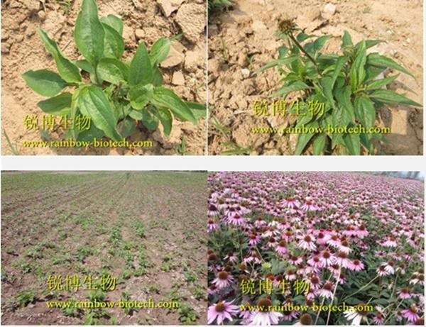 紫锥菊提取物,紫锥菊种植基地-西安锐博生物