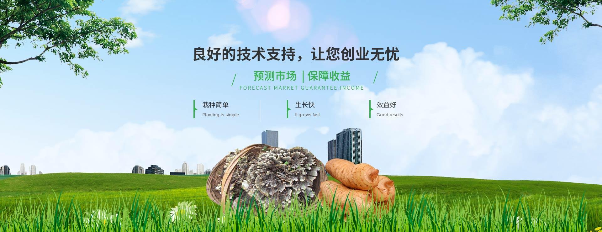 宜昌天麻蜜环菌