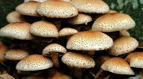 关于它到底有多大又有新说法?世界上蕞大的生物是蜜环菌