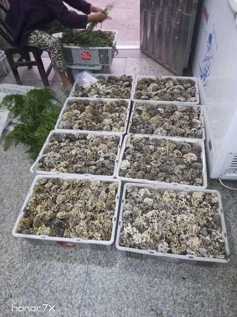 宜昌天麻干巴菌种植技术推广