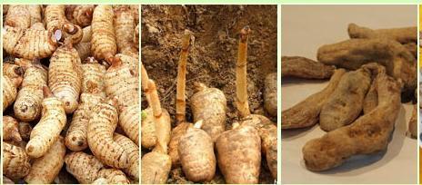 种植天麻需要什么条件?需要注意什么?