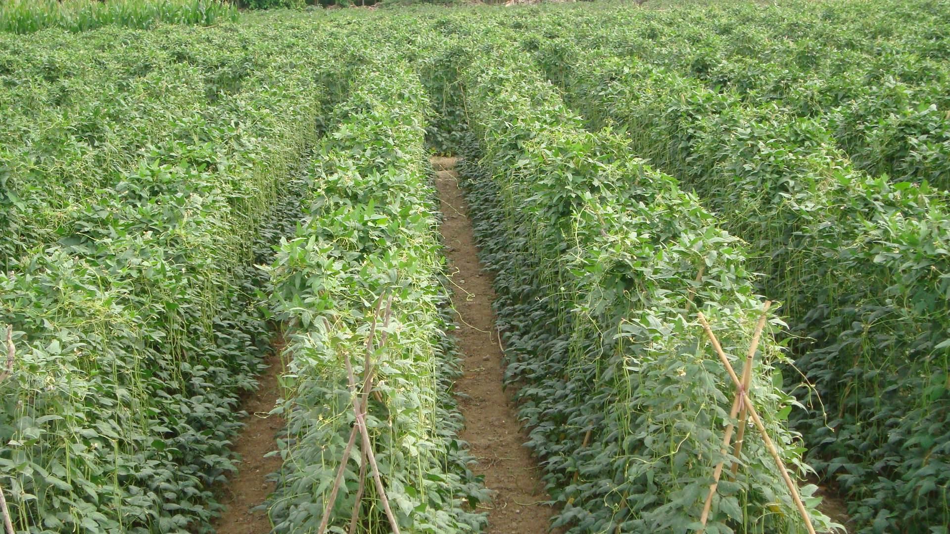 豆角種植大棚