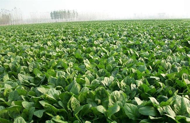 菠菜種植基地