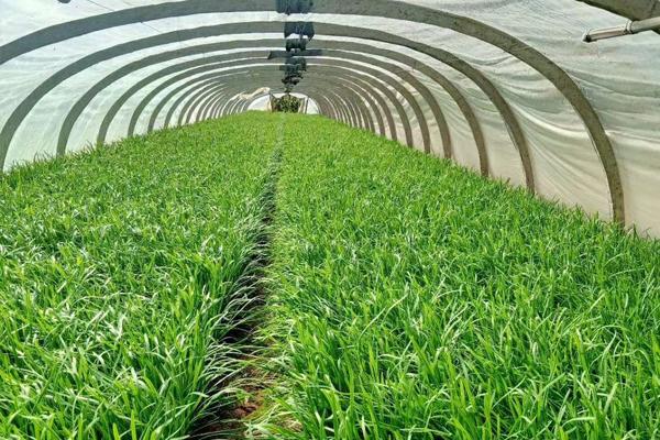 農業資訊,重磅消息!孟氏鴻園基地韭菜上市了