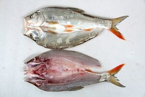 武汉精品红尾鱼