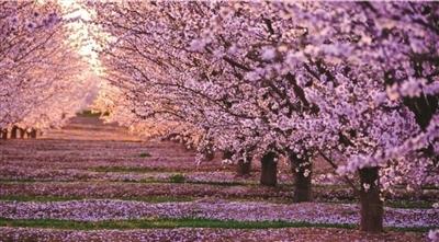 虽然疫情那么严重,但是春天还是会来的,上野公园的樱花如期绽放了
