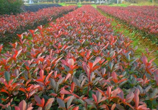 红叶石楠苗基地