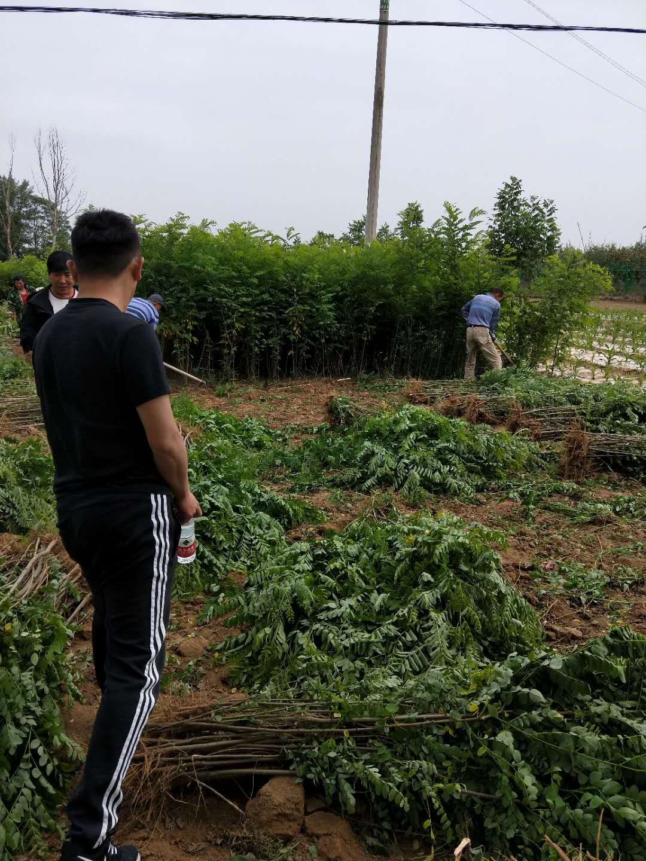 商丘市睢阳区佳景苗木种植中心