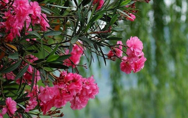 夹竹桃苗种植