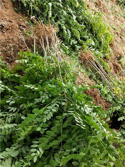 刺槐有一定的抗旱能力,萌芽力和根蘖性都很强