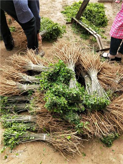 优良乡土树种刺槐的栽培抚育技术
