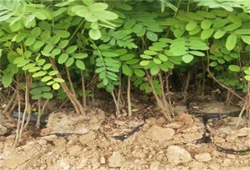 山西紫穗槐种植