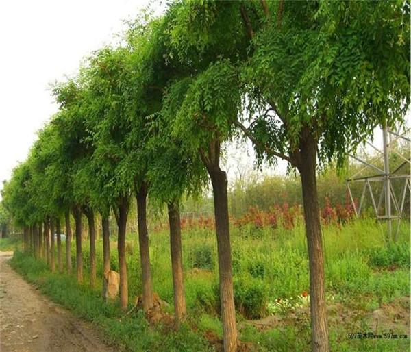 佳景苗木种植山西紫穗槐价格
