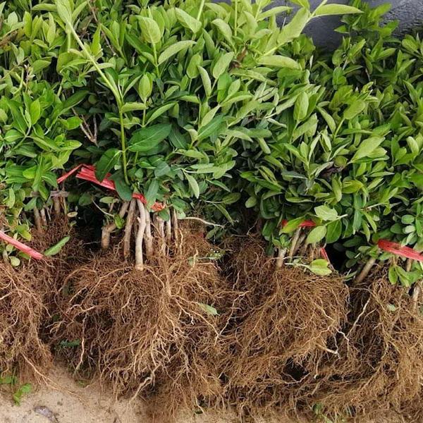 做好山西金银花春季管理,提高产量与收益!