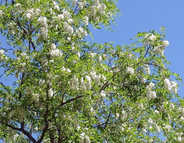 山西刺槐怎样种植,才能更利于生存?