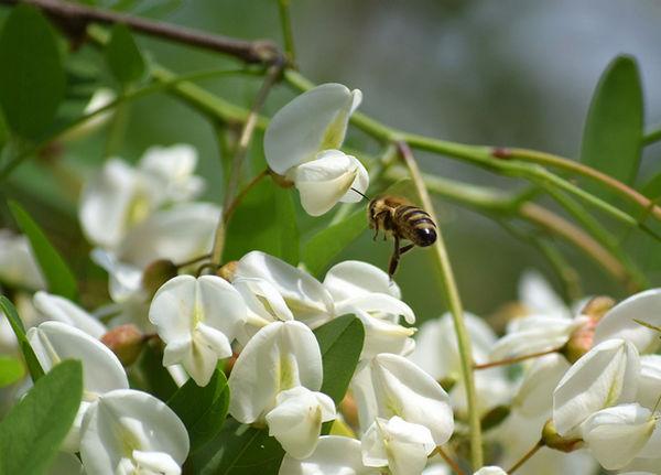 山西刺槐的枝干、花朵、叶片都有什么样的使用功效呢?