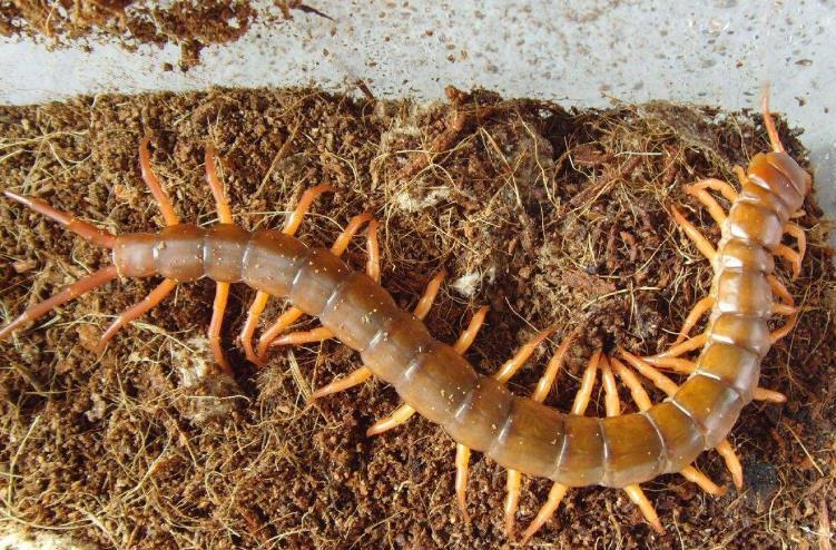 誠康養殖場的蜈蚣樣品