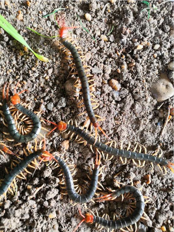襄阳诚康养殖的蜈蚣