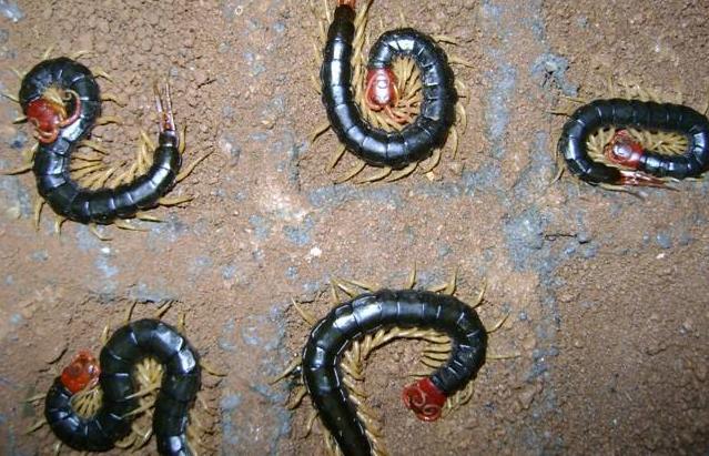 湖北蜈蚣饲养 诚康特种养殖