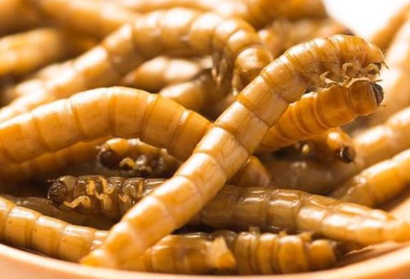 黄粉虫养殖技术培训 襄阳诚康