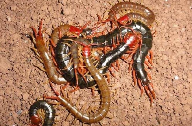诚康蜈蚣养殖技术