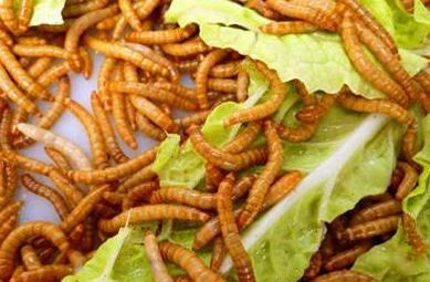 诚康黄粉虫养殖加盟