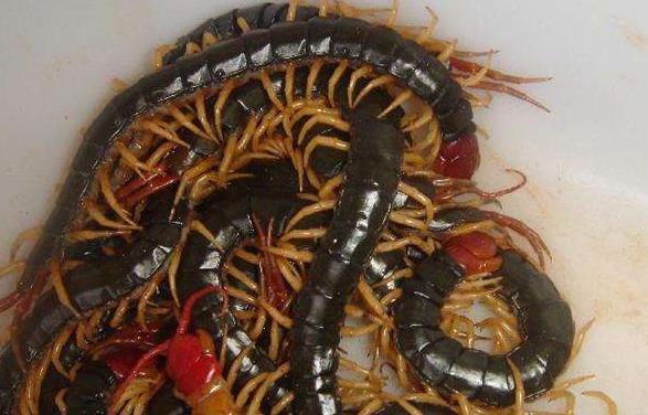 襄阳蜈蚣养殖