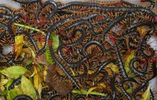 湖北蜈蚣养殖