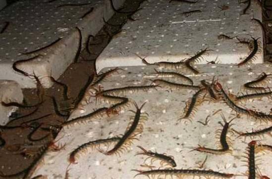 在冬季,湖北蜈蚣養殖加溫管理中要注意這5個要點!