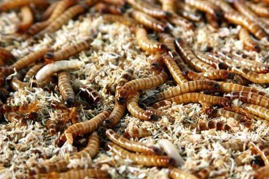 快来了解下湖北黄粉虫养殖过程中的管理方法吧!