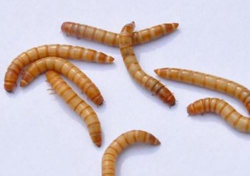 得了腐爛?。ㄜ浉。┑狞S粉蟲,有什么癥狀和防治方法嗎?