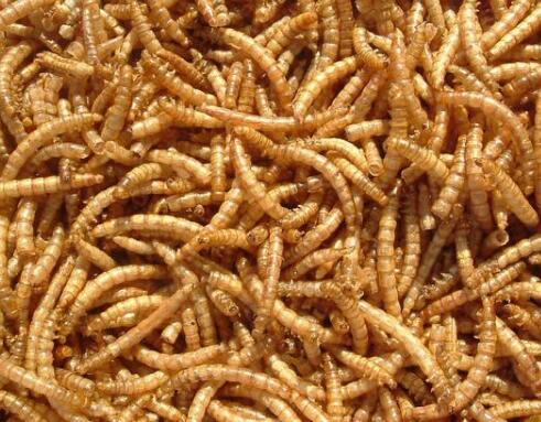 在即将到来的冬季,黄粉虫该如何饲养?黄粉虫养殖的方法及管理