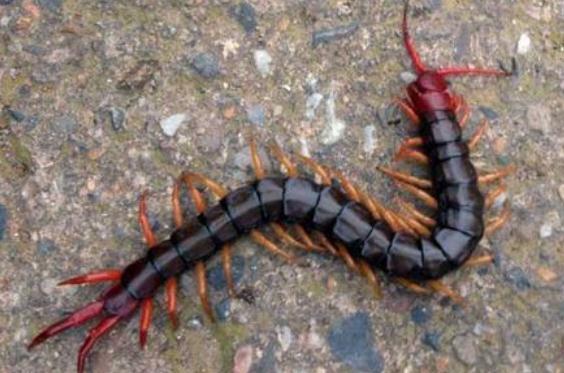 湖北蜈蚣的饲养管理是怎么样的呢?主要饲料有哪几类?