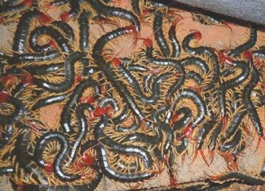 蜈蚣养殖——冬眠期如何度过!请看下文详情!