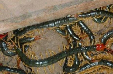 湖北蜈蚣养殖基地分享:蜈蚣的7个特性!