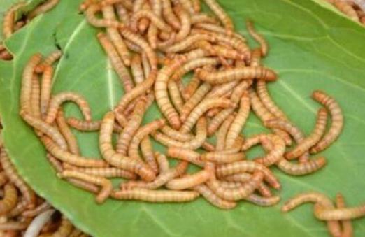 黄粉虫有什么样的价值和用途呢?看看诚康的分享内容!