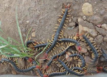在管理蜈蚣的过程中,这7个要点要注意!