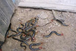 湖北蜈蚣養殖