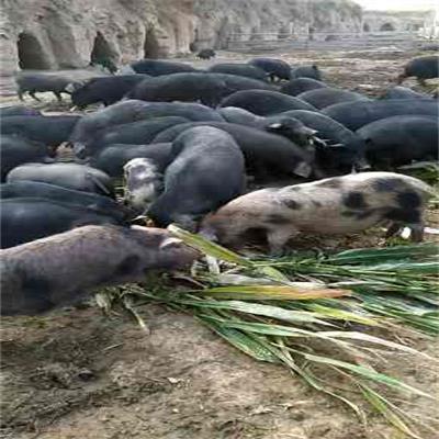 内蒙生态猪加工厂