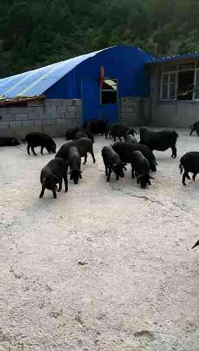 河北种猪仔养殖场
