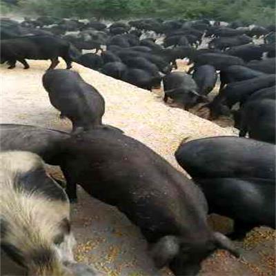 河北养殖生态猪地址