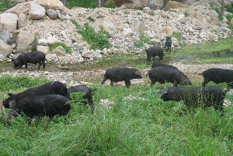 生态黑猪肉订购_山西黑猪养殖场