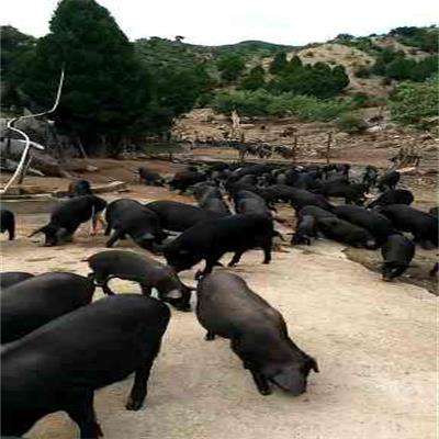 内蒙生态猪地址