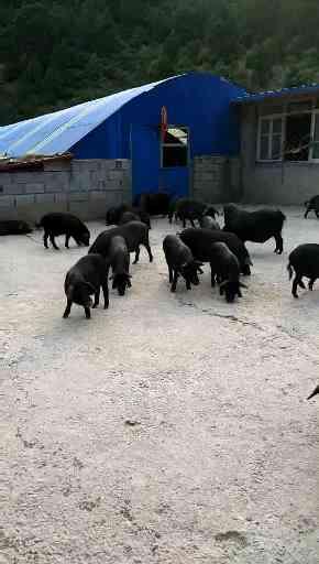 内蒙种猪加工厂