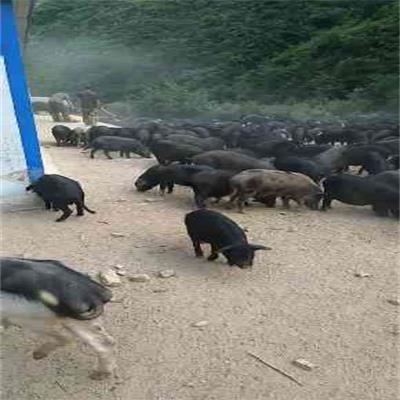 河北生态猪地址