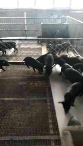 河北种猪价格