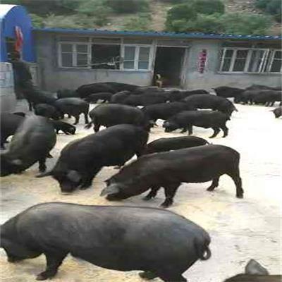 山西散养生态猪场