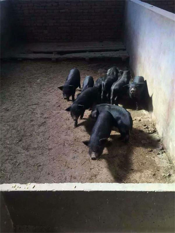 张家口种猪厂家