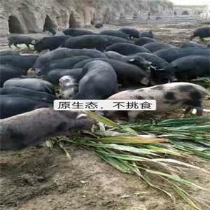 张家口生态猪厂家