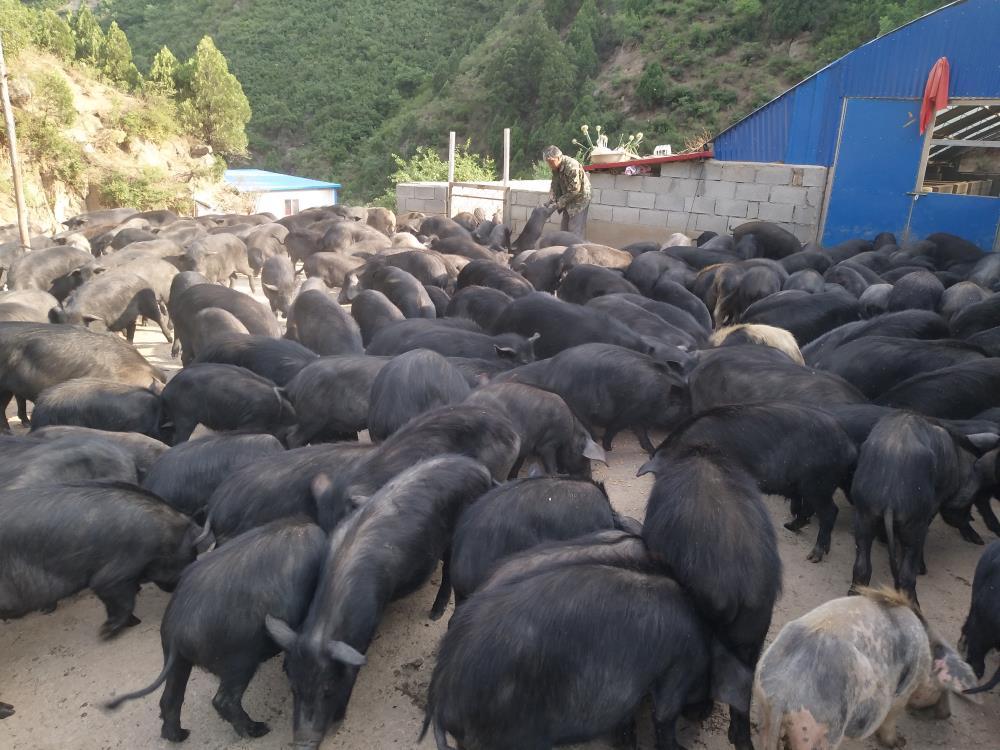 山西黑猪厂